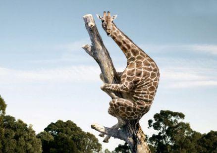 funny_giraffe_25